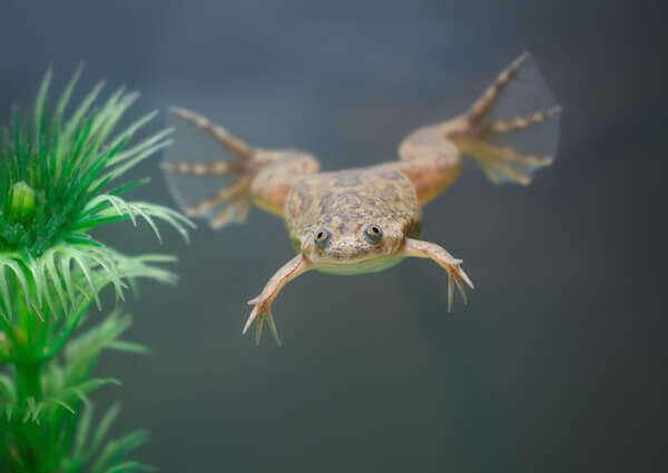 african dwarf frog the dwarf underwater frog is a species that were ...