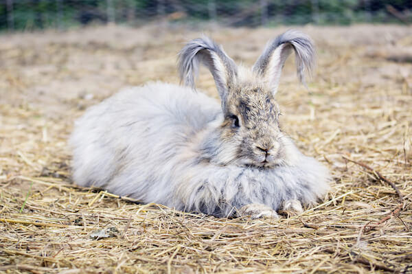 Big Angora Rabbit