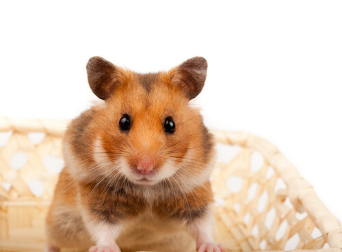 Golden, Or Syrian Hamster