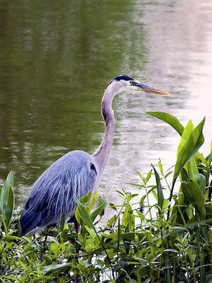 Great Blue Heron pond predator