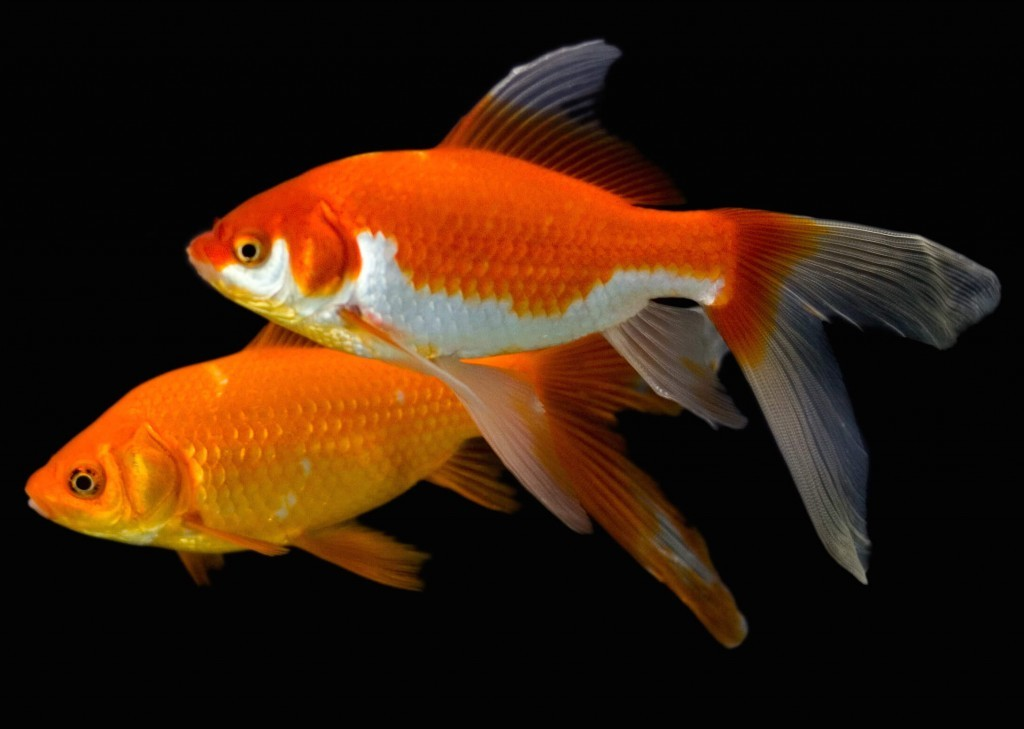 How to take care of a fair goldfish