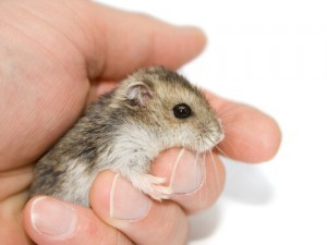 Little Dwarf Hamster Type