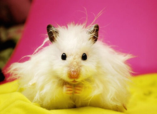 Long-Haired Syrian Hamster.