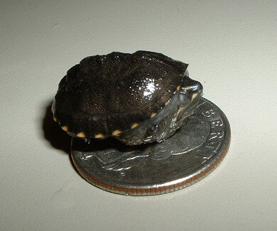 Newborn-Hatchling-Turtles