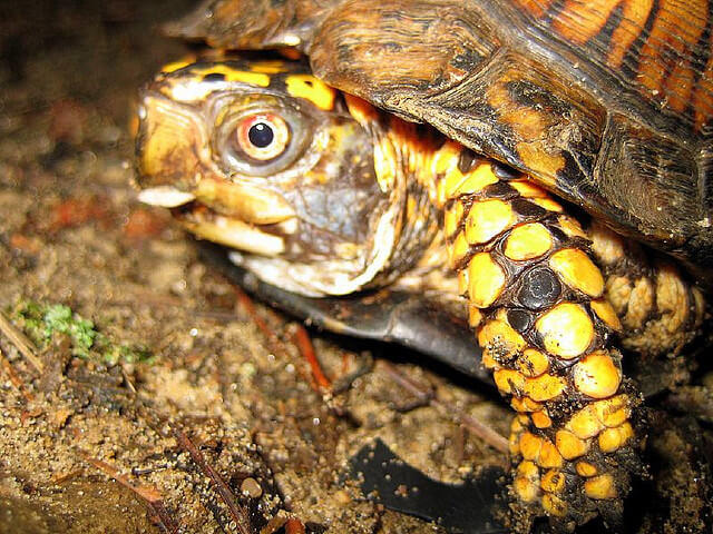 North-American-Box-Turtle