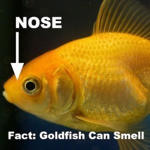 Goldfish anatomy body eyes ears nose gills scales more for Do all fish have gills