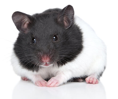 Hamster Body Language & Behavior: What it Means