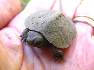 Raising Baby Turtles - How to Take Care of a Turtle