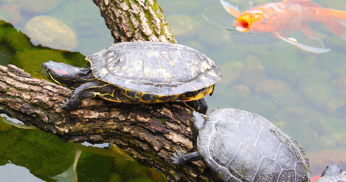 Aquatic Turtle Food - How to Take Care of a Turtle