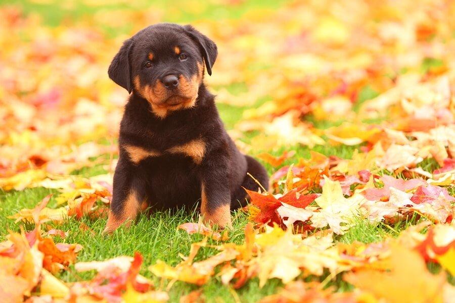 Rottweiler puppy sitting