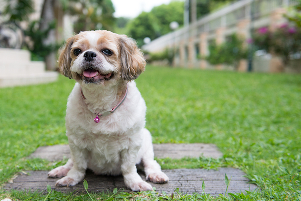 Shih Tzu In Yard Invisible Fence