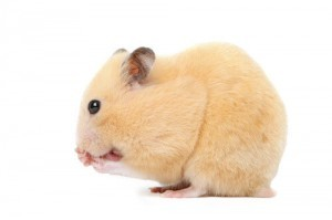 Syrian Hamster Breed