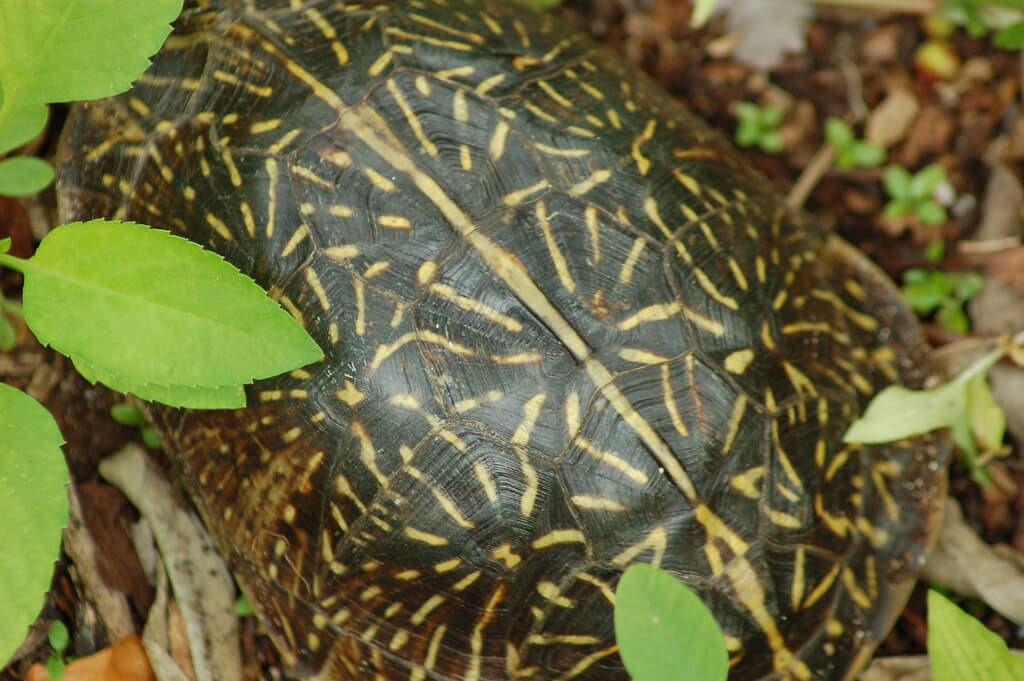 The Florida Box Turtle