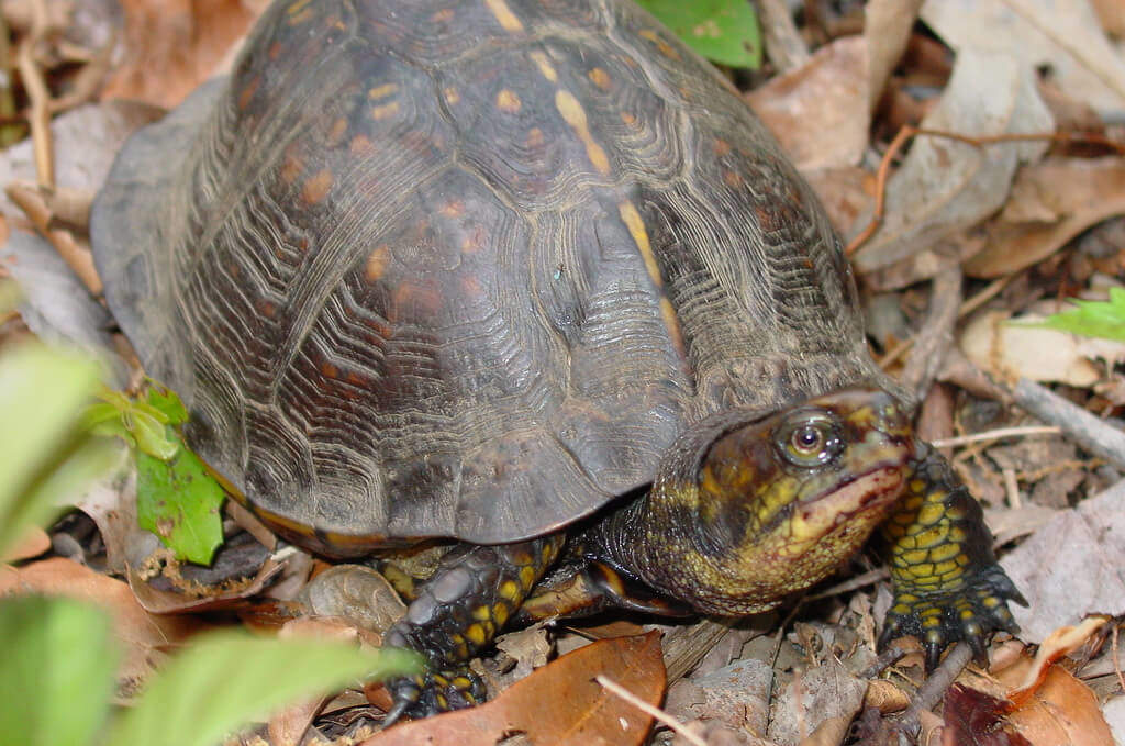 The Gulf Coast Box Turtle