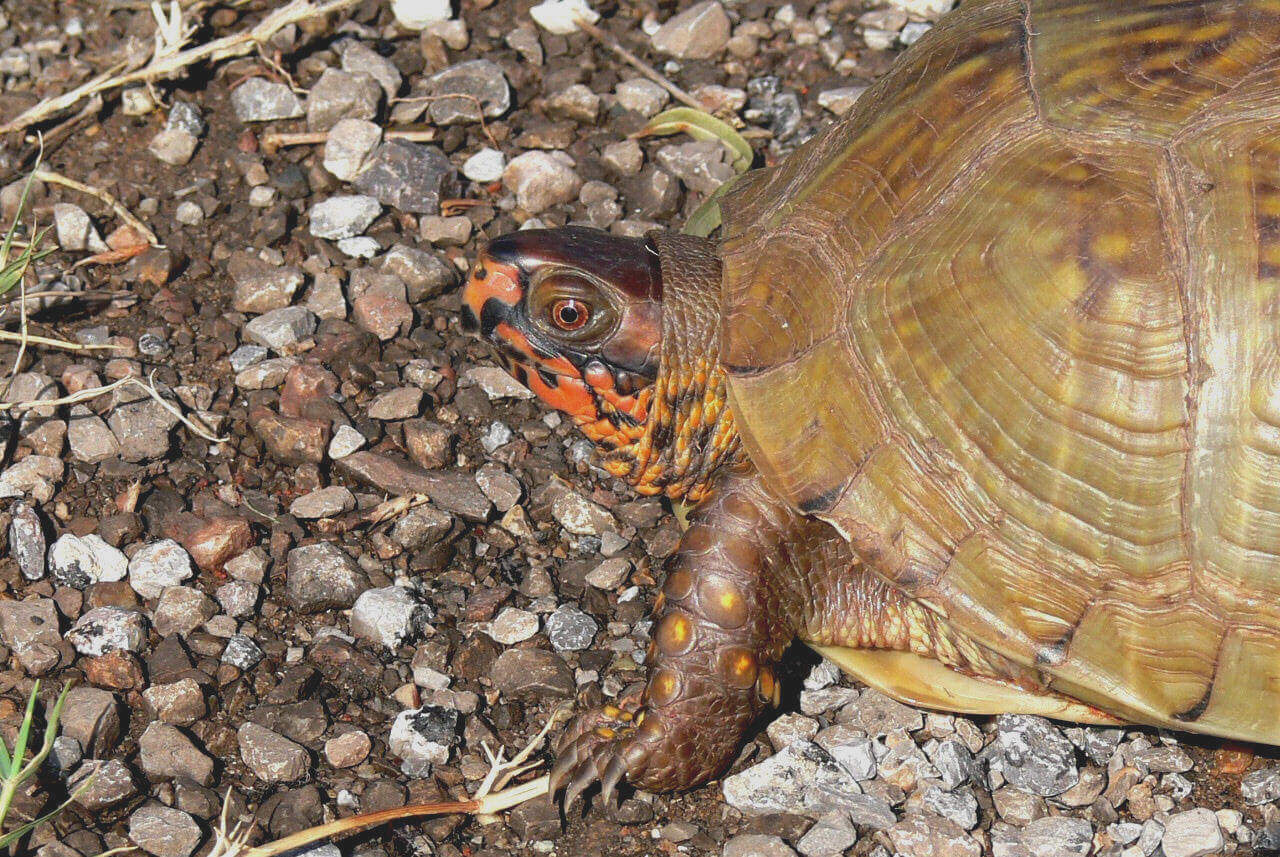 The Three Toed Box Turtle