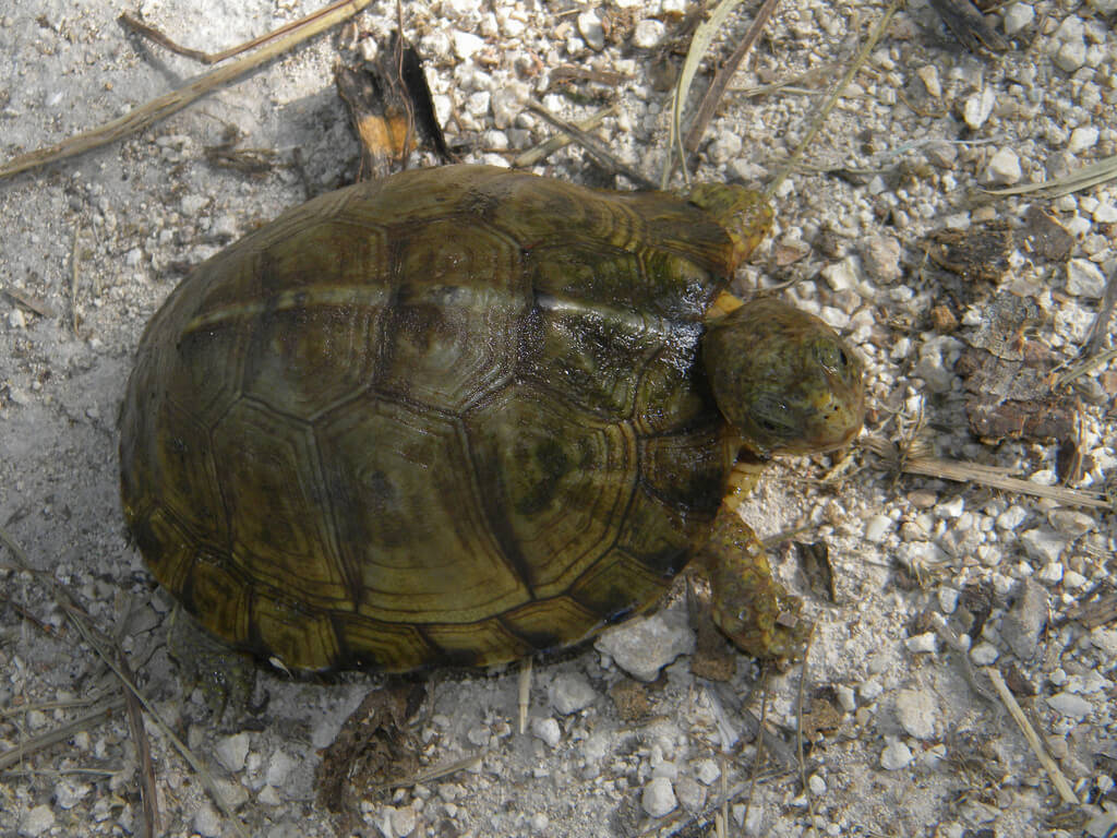 The Yucatan Box Turtle