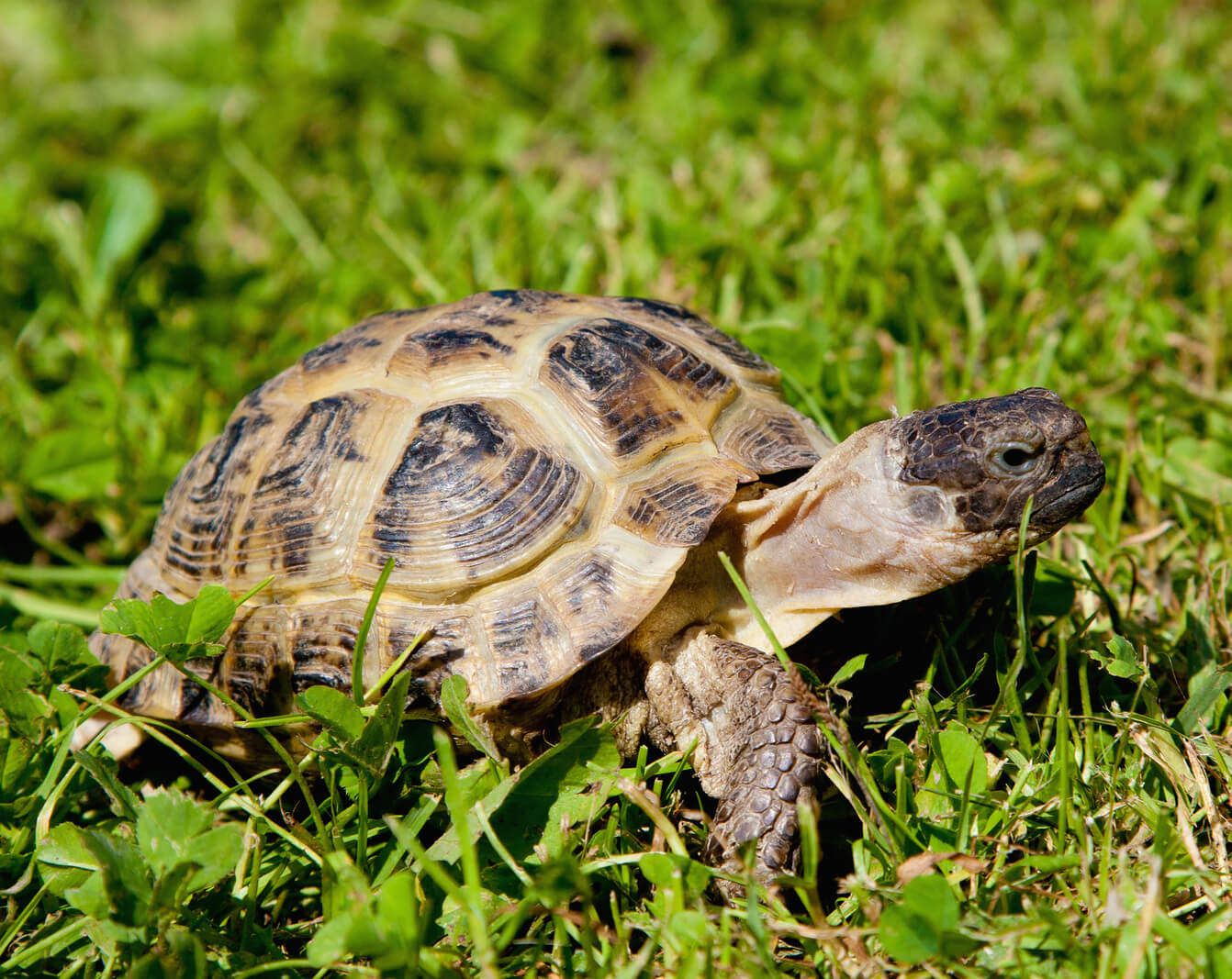 pet turtle typ sequa