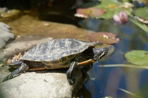 Can You Put Fish In With Painted Turtles