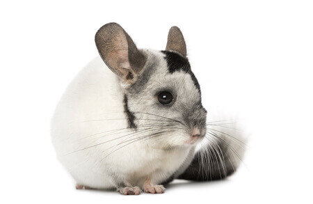 Chinchilla care - photo#25