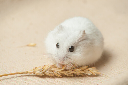 Winter White Dwarf Hamster - Pics about space