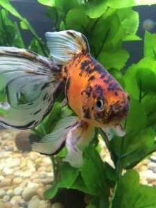 a calico flowing tail goldfish
