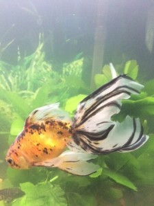 a calico goldfish