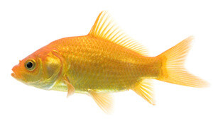 a common goldfish breed