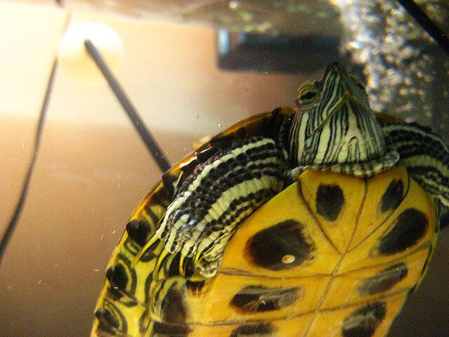 Aquatic Water Turtles - How to Take Care of a Turtle