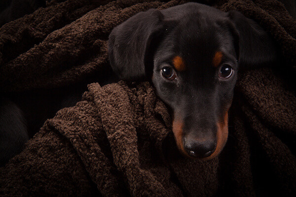 Doberman pinscher baby natural ears
