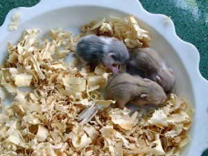 how to care for new baby hamsters