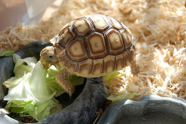 What Tortoises, Aquatic and Box Turtles Eat : Feeding ...