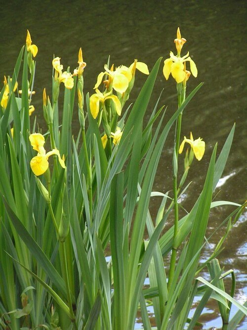 How to plant water iris plants in a backyard pond for Plants that live in a pond