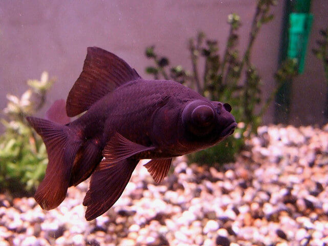 What causes black spots on goldfish?