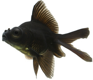 Black Goldfish Types 10 Goldfish Eye Diseas...