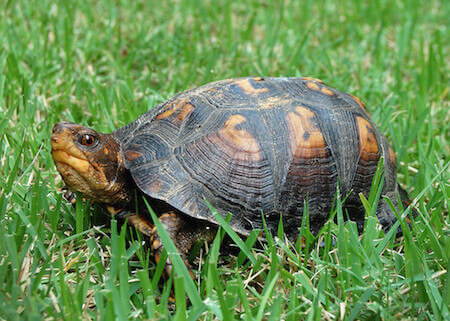 box-turtle-in-lawn