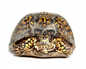 Box turtle in its shell
