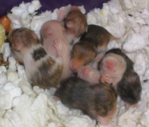 How to Take Care of Baby Hamsters: Raising and Breeding Info