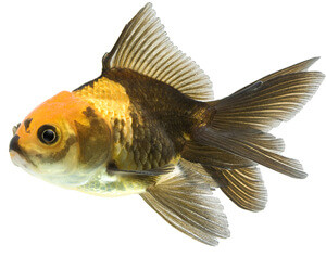 brown and gold fancy goldfish