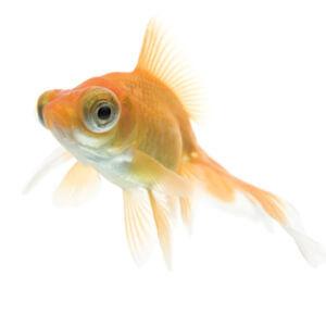 bubble-eye-goldfish