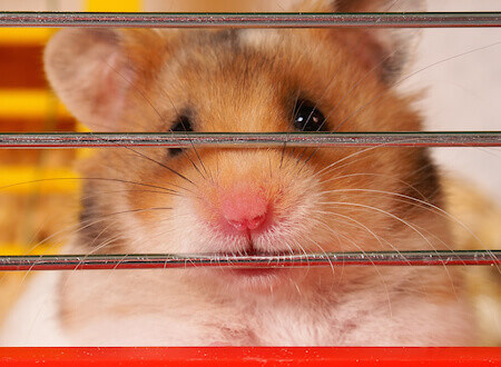 Caring for a Sick Hamster