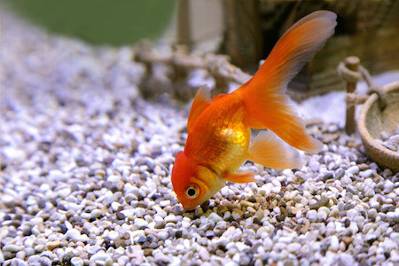 Image result for Fish tanks for goldfish