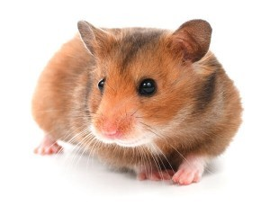 Hamster Hind Limb Problems: Causes and Possible Treatments