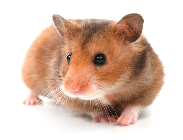 Watch How to Choose Good Cages for Hamsters video