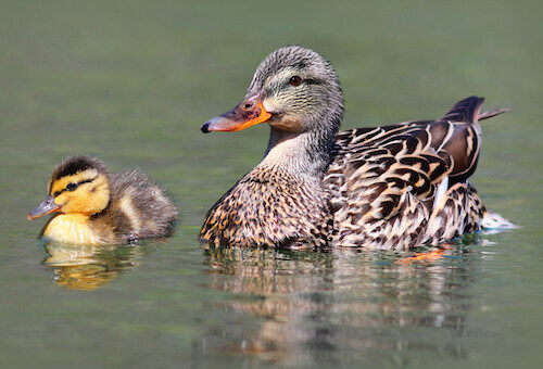 Mother and Baby Duck