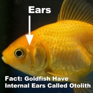 Goldfish internal anatomy