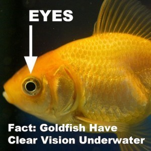 goldfish eyesight eyes