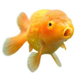 fancy-goldfish