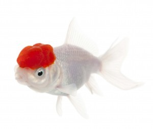 Goldfish anatomy body eyes ears nose gills scales more for How to take care of a fish