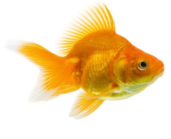 Info at AnimalWorld Veiltail Goldfish