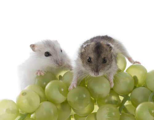 Fruits for Hamsters to Eat